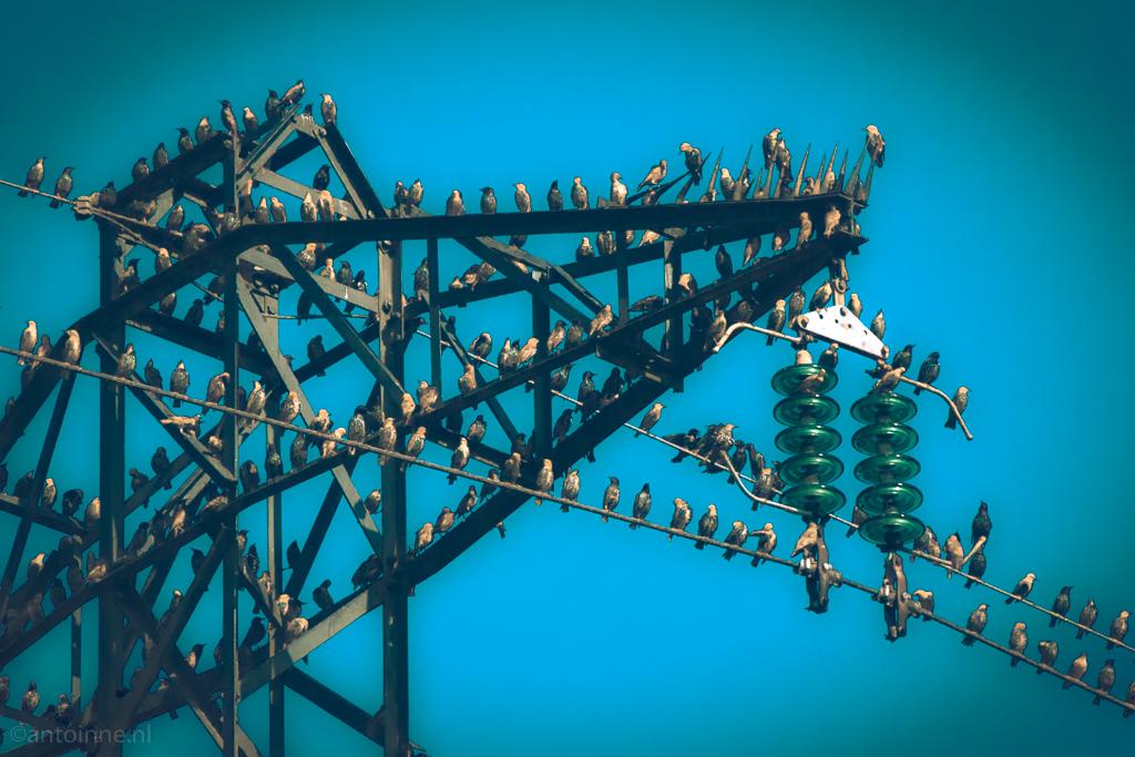 Starlings (in blue) - DSC03589