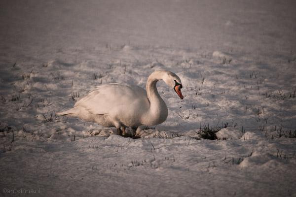 Zwaan in de sneeuw - DSC00685