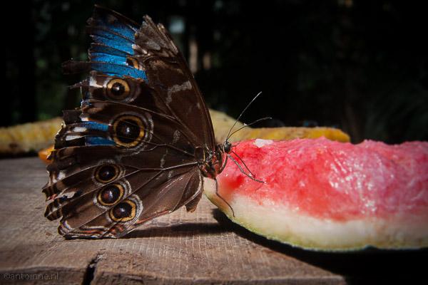 Owl Butterfly (Empuriabrava) - DSC07427