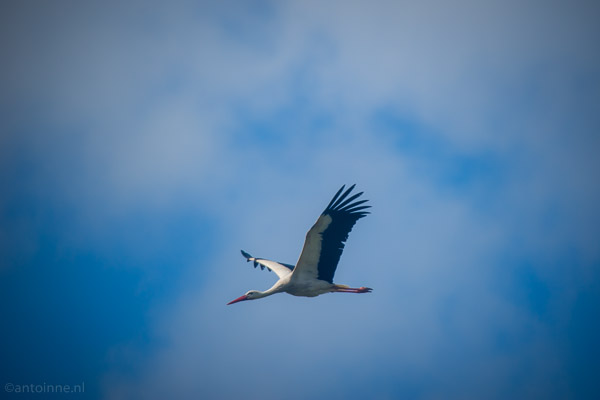 White Stork (Parc du Marquenterre, 2014) - 20140427-SLT-A99V-DSC04228