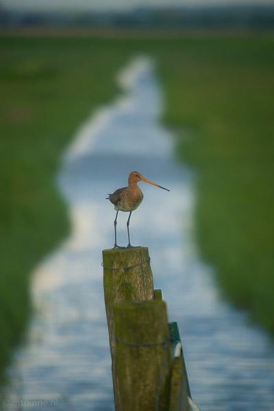 Weidevogelreservaat Eemland (Grutto, Limosa limosa)