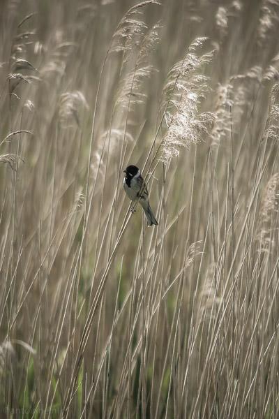 Weidevogelreservaat Eemland (Rietgors, Emberiza schoeniclus) - 20140525-SLT-A99V-DSC04510