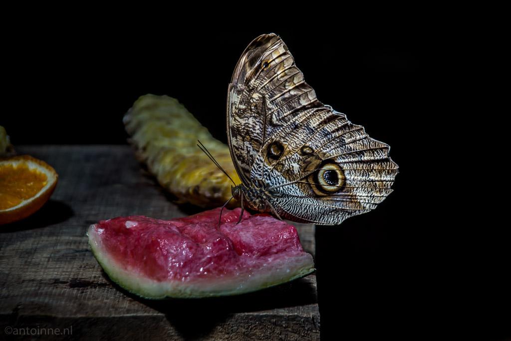 Stil levend (Butterfly Park Empuriabrava) - DSC01453
