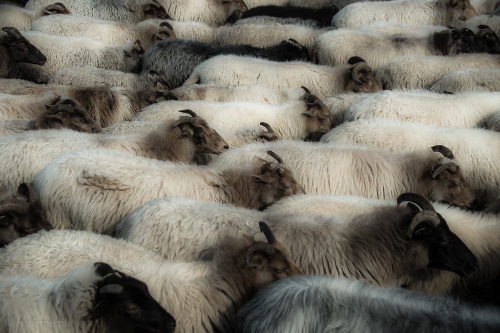 Heath sheep - 20150926-SLT-A99V-DSC06690