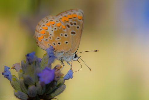 Butterfly #2(Nimes) - 20160707-SLT-A99V-DSC08354