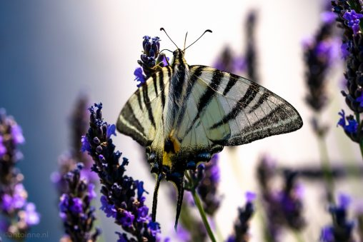 Butterfly (Nimes) - 20160707-SLT-A99V-DSC08358