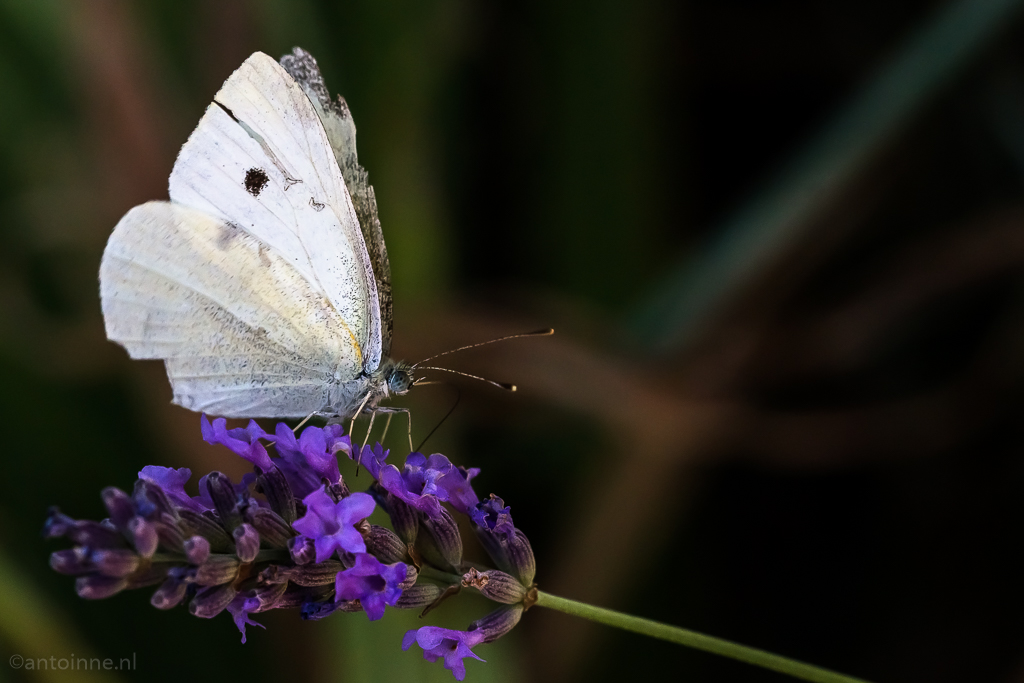 butterfly-3-nimes-20160707-slt-a99v-dsc08392