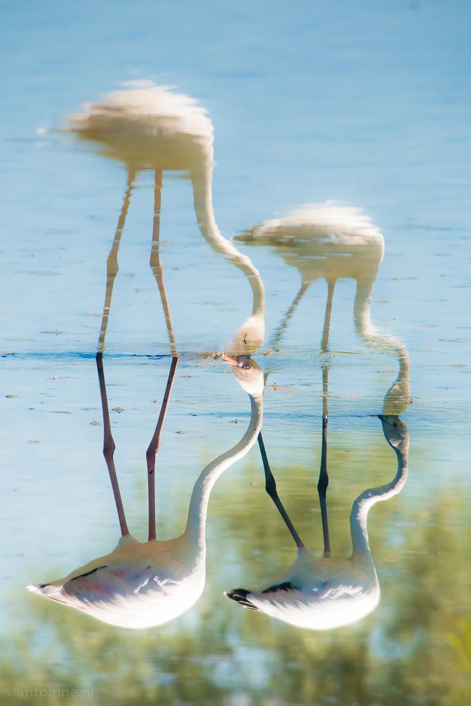 Spiegelbeeld (Parc Ornithologique du Pont De Gau, 2016) - 20160707-SLT-A99V-DSC08309