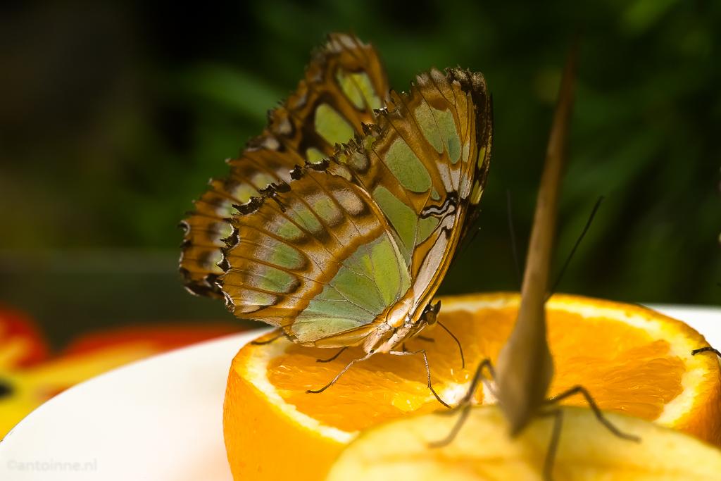 vlinder-vallei-luttelgeest-20160919-slt-a99v-dsc09277