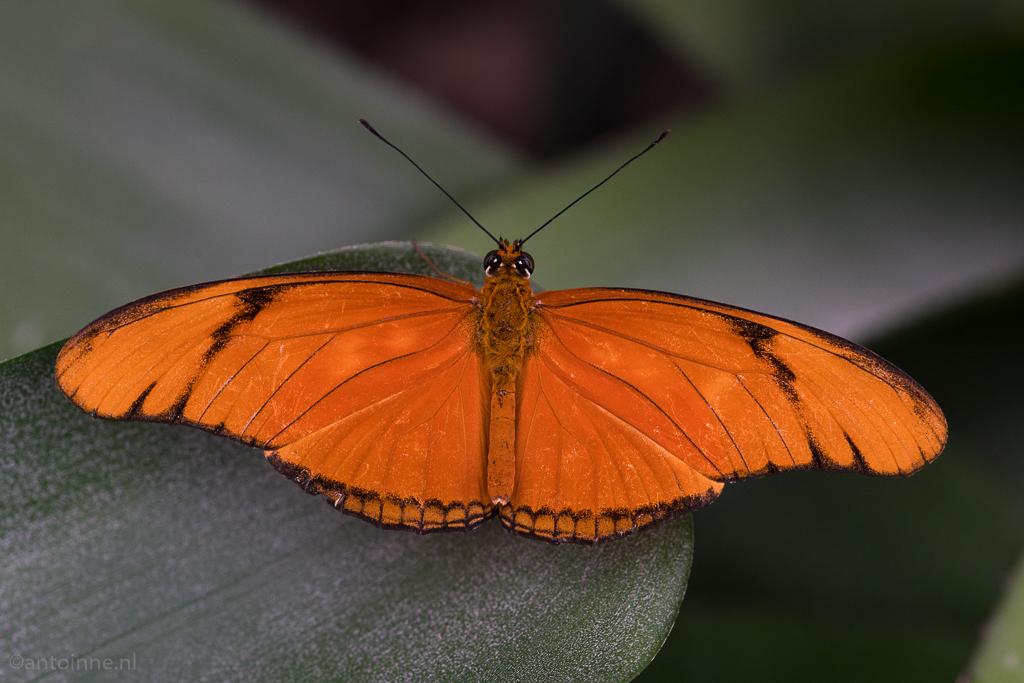 Dryas iulia (oranje passiebloemvlinder) Luttelgeest - 20170810-ILCA-99M2-DSC02228.jpg