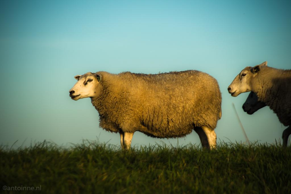 Zomerdijk (Eemnes 2018) - sheep