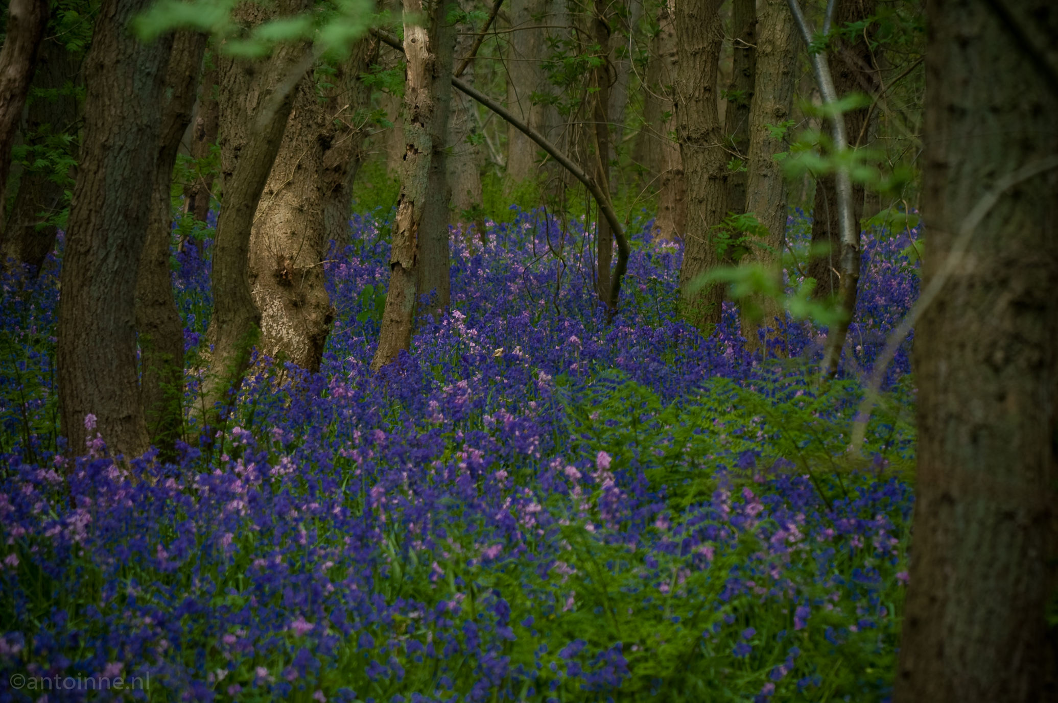 Bluebells and trees (Wildrijk, mei 2008)
