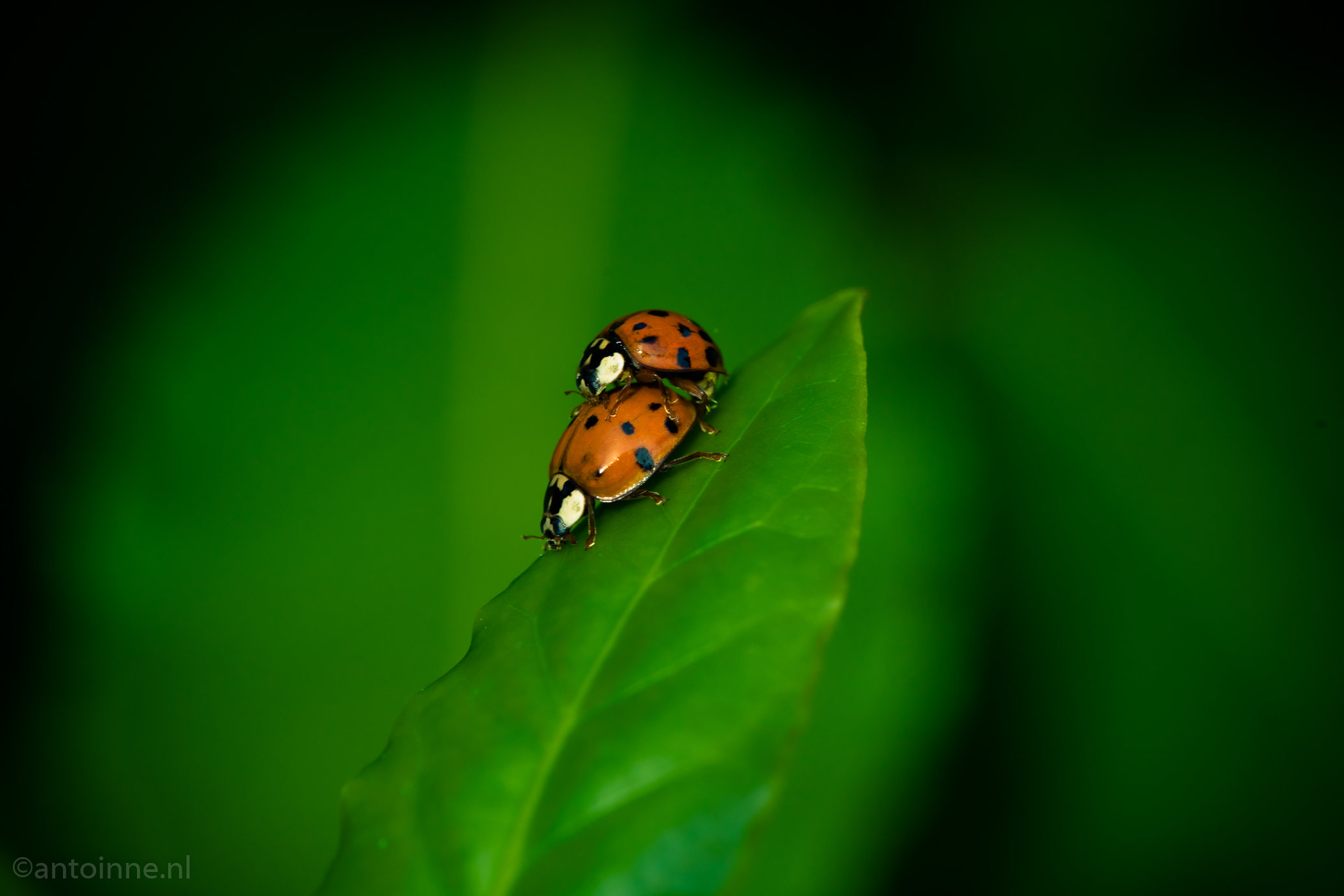 Love is in the air (ladybird beetles)