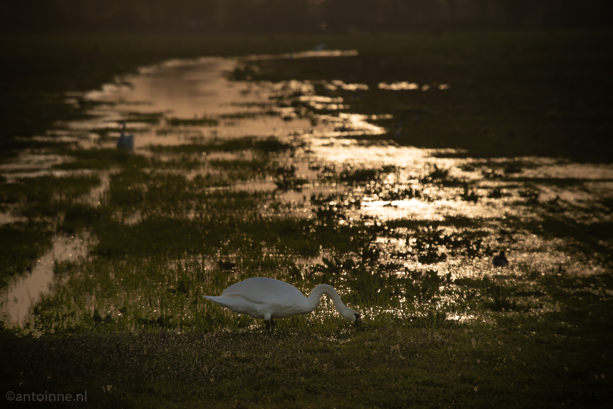 Zwanen bij zonsondergang (Eemnes, 2020)