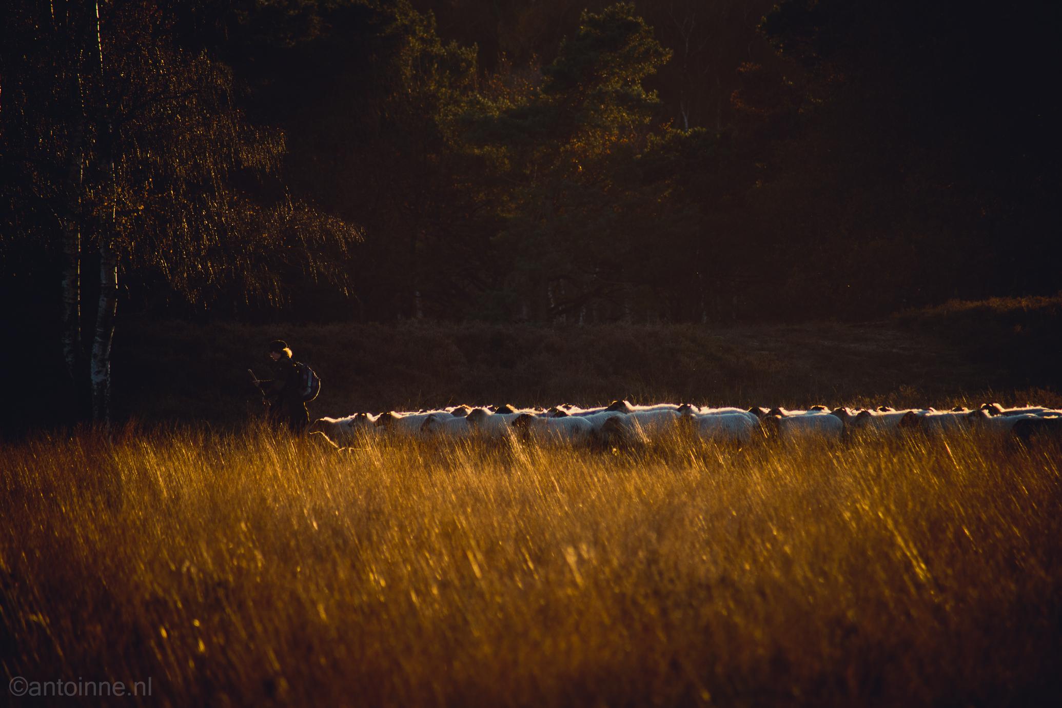 De herderin die voor de kudde loopt (Laren, Zuiderheide)
