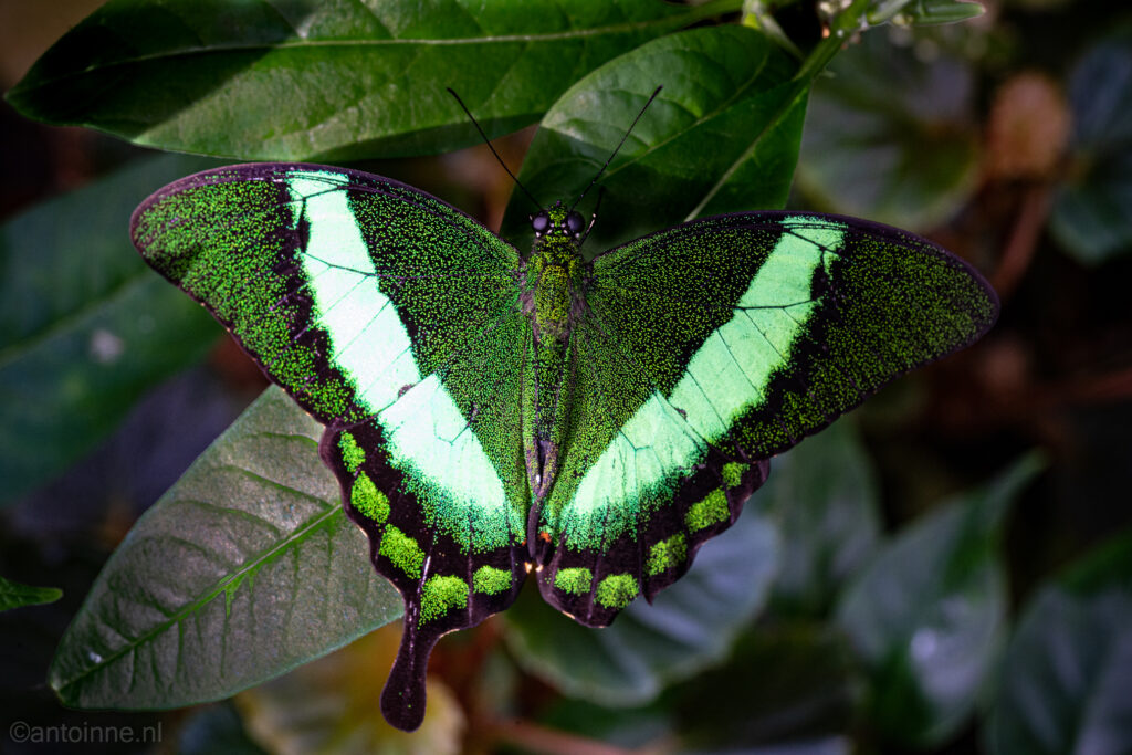 Papilio palinurus (Utrecht Botanic Gardens)