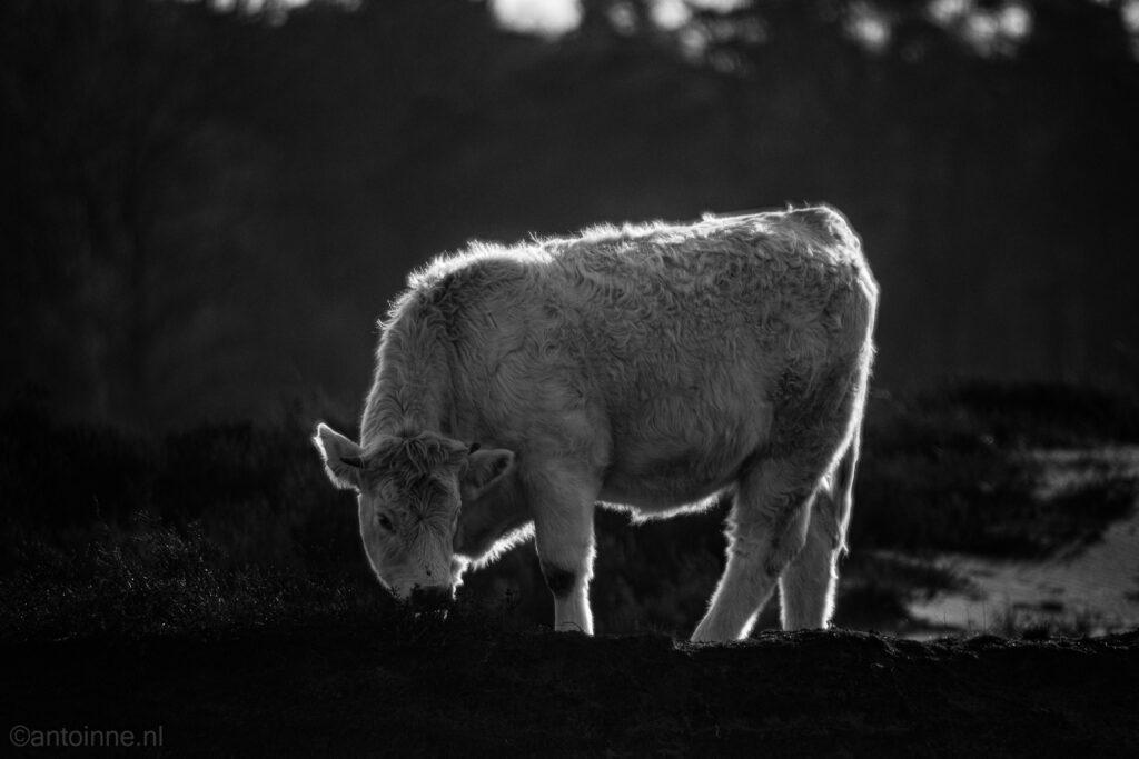 Charolais koe op de Zuiderheide bij Laren