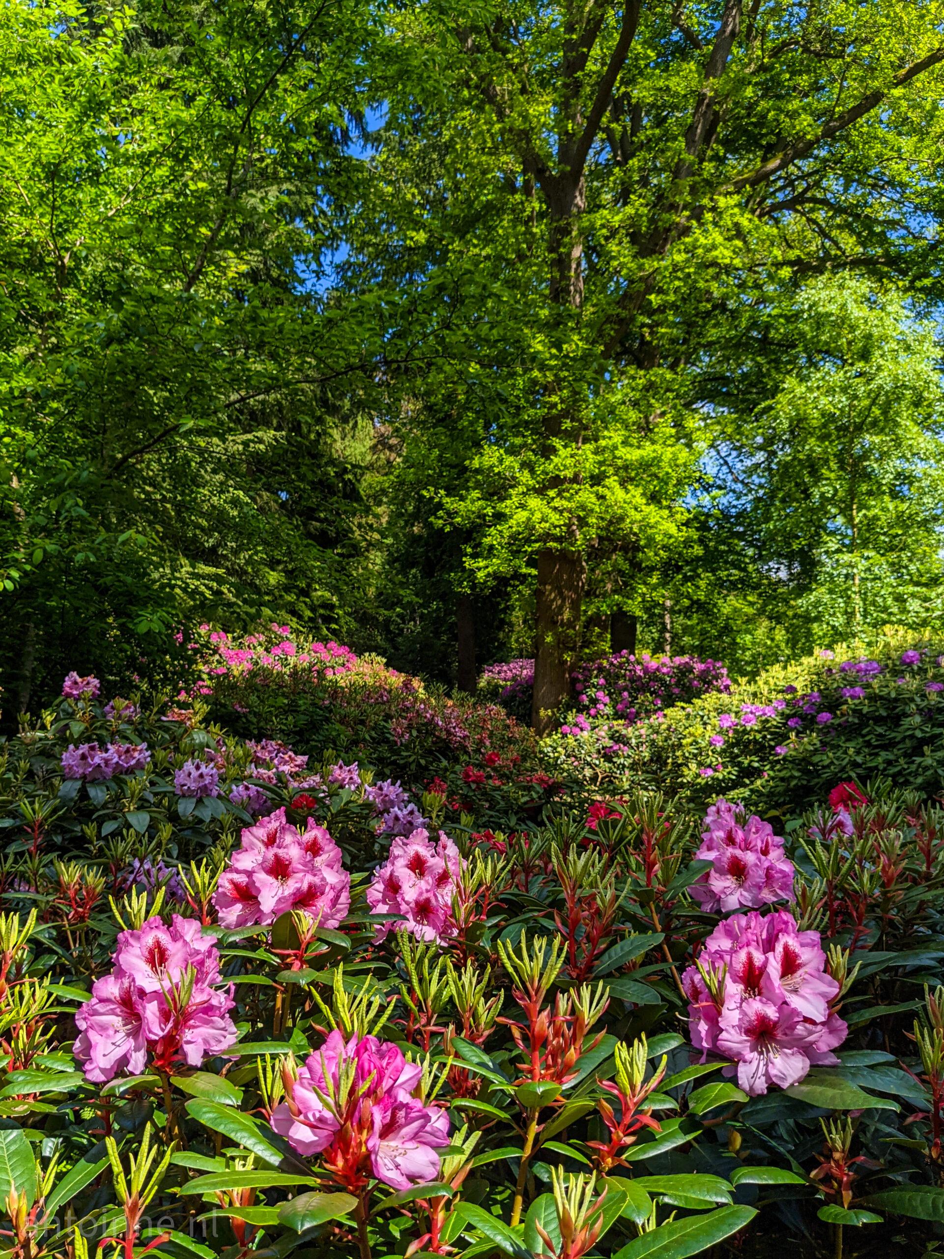 Rododendron vallei van landgoed Gooilust