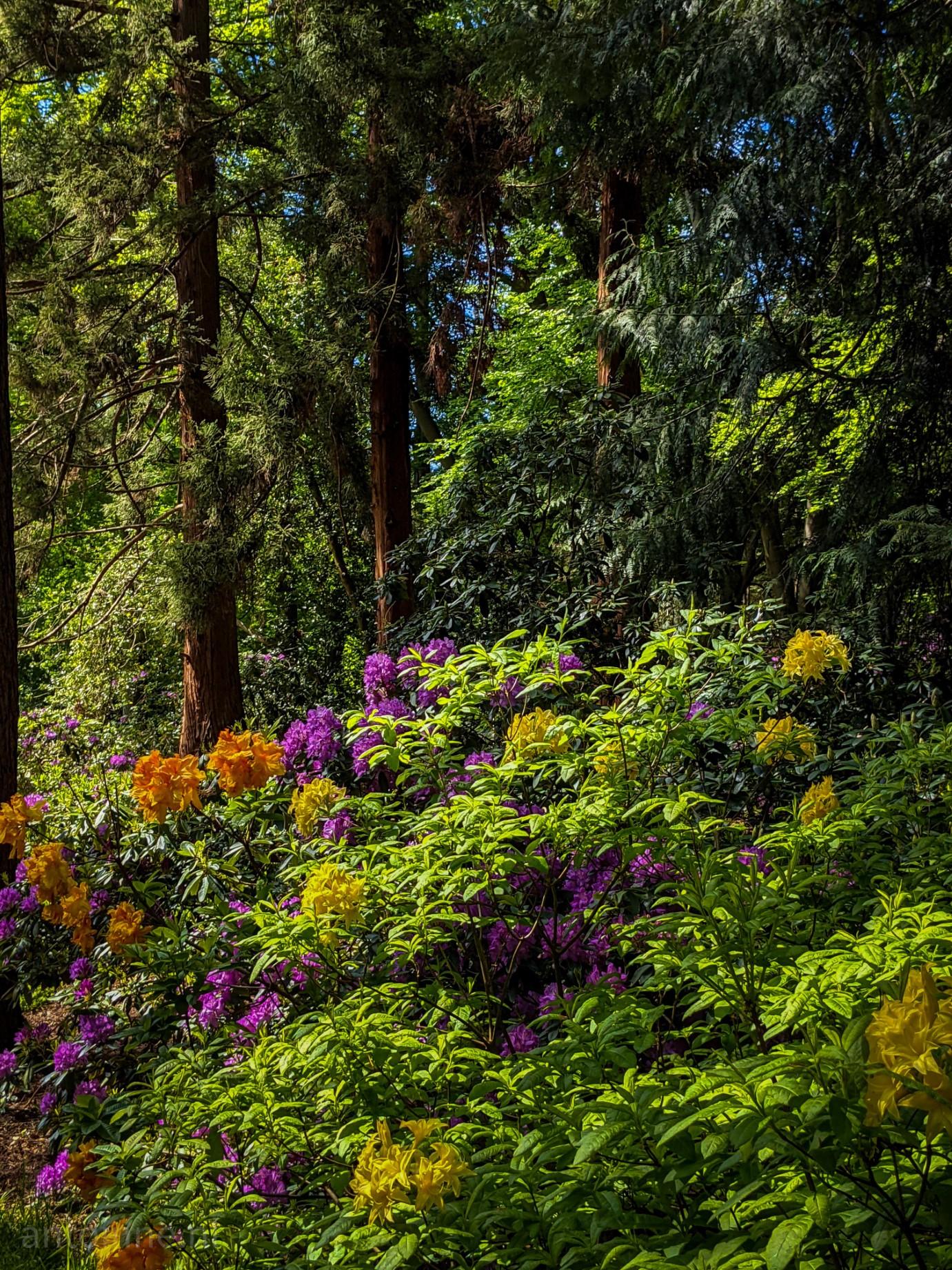 Rododendronvallei in bloei